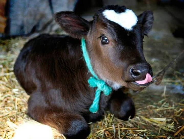 baby cow | FLOWERS & ANIMALS | Pinterest I Love Moo Cow