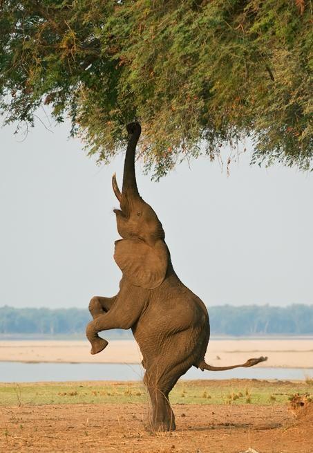 Elephant aiming high