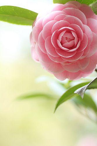 camellia looks like candy...