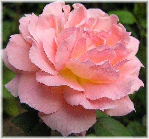 Diana Princess Of Wales Hybrid Tea Rose Floral Artistry