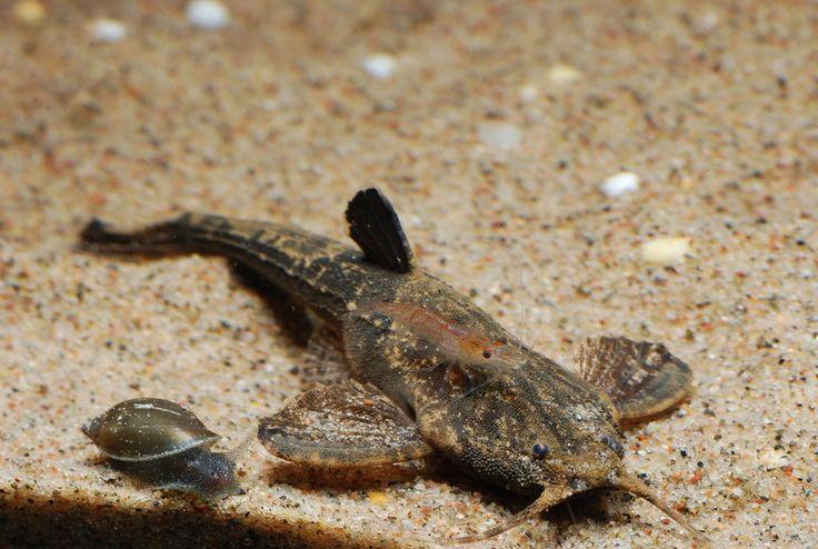 Banjo catfish by Gobius.deviantart.com Ichthys Pinterest