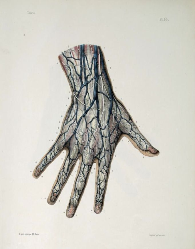 Hand veins anatomy