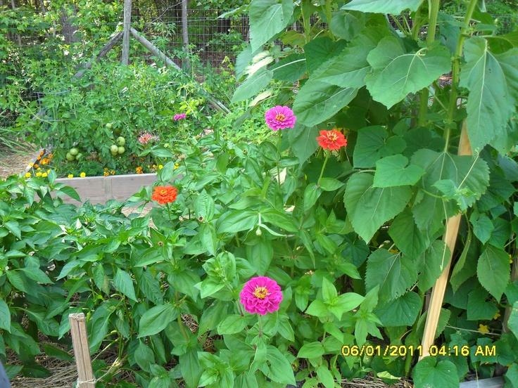 vegetable garden | my gardens | Pinterest