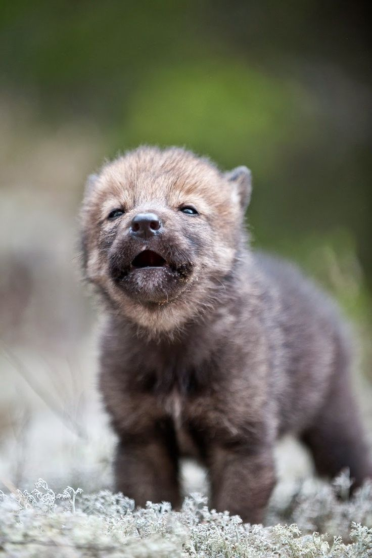 Cute baby wolf howling