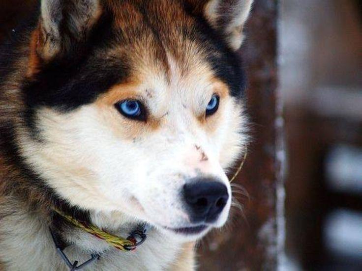 German Shepherd-Siberian Husky Mix | my future BFF | Pinterest