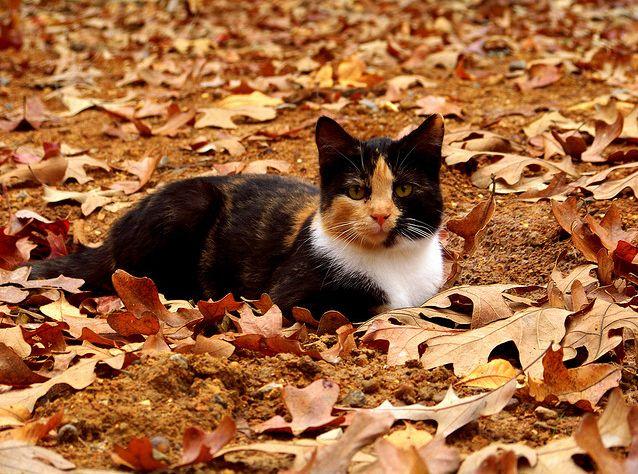 cat lynx autumn foliage - photo #45