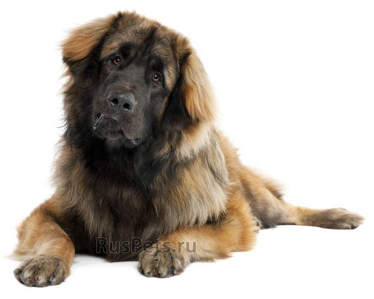 Leonberger dog breed picture photo of leonberger dog breed dog