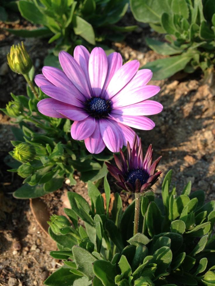 Pinterest Where did daisies originate