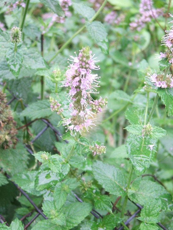 "Spearmint Plants ""Mentha spicata"" Organic Home Grown ..."