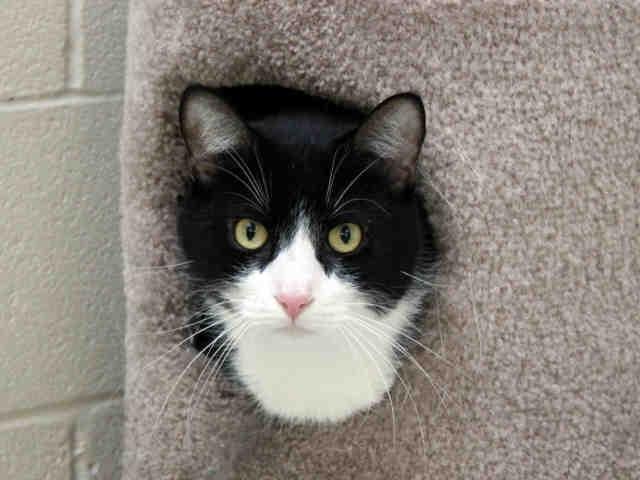 tuxedo a622178 cats for adoption pinterest