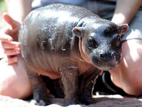 Real Mini Animals Top 5 pygmy animals �...