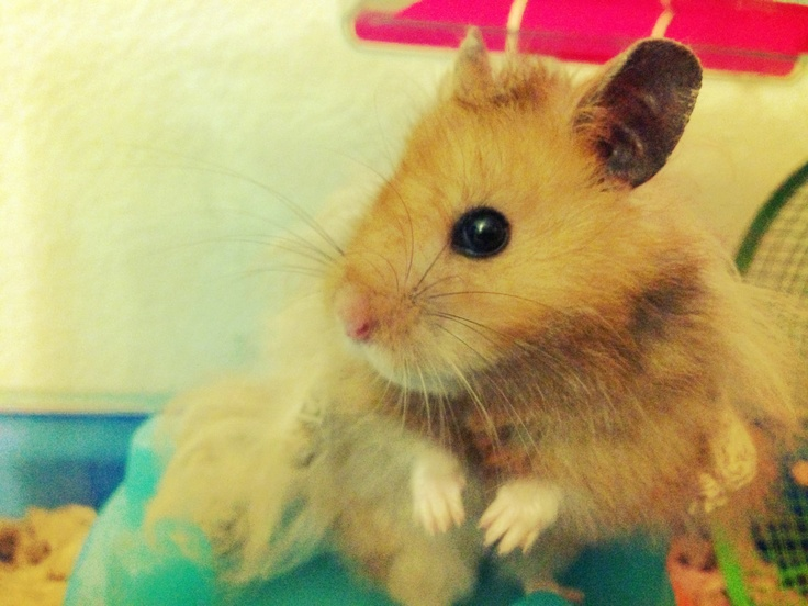Long-haired teddy bear hamster | Kahlua | Pinterest