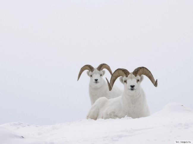 carneiros