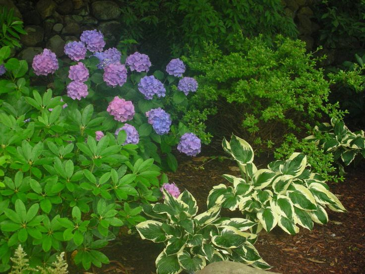 Hostas and hydrangeas Hostas Pinterest