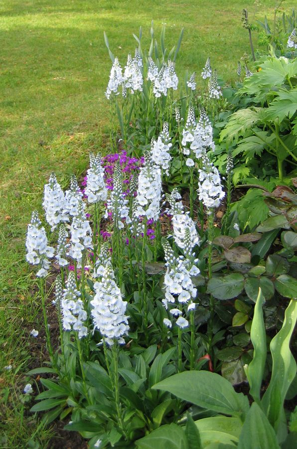 Enzianehrenpreis #Veronica-gentianoides | Blumen und Blüten im Garten…