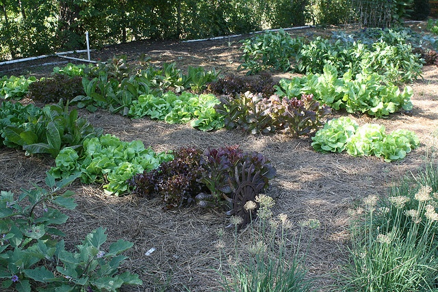lettuce rows with pine straw mulch vegetable and fruit