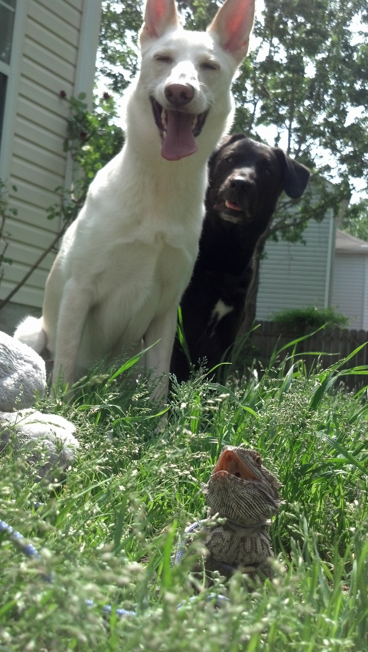 My three beautiful girls! Khya (American White Shepherd) Abby (Pit bull/Black Lab Mix) Crickette (Bearded Dragon)