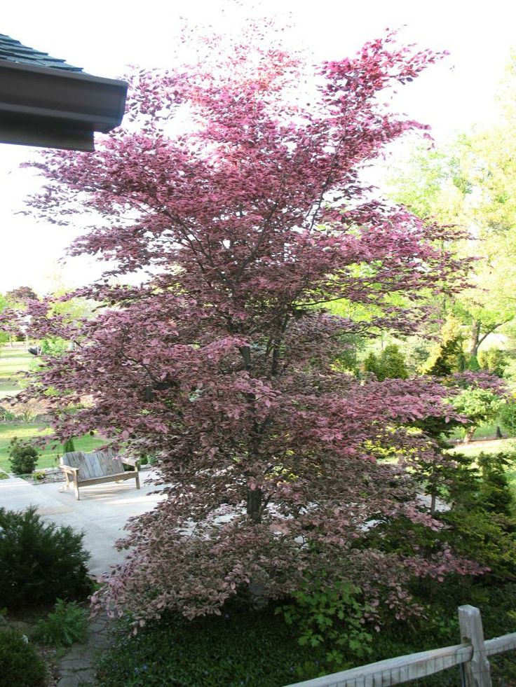 Tri color beech tree purchased 6 3 14 shelton s planted 6 7 14