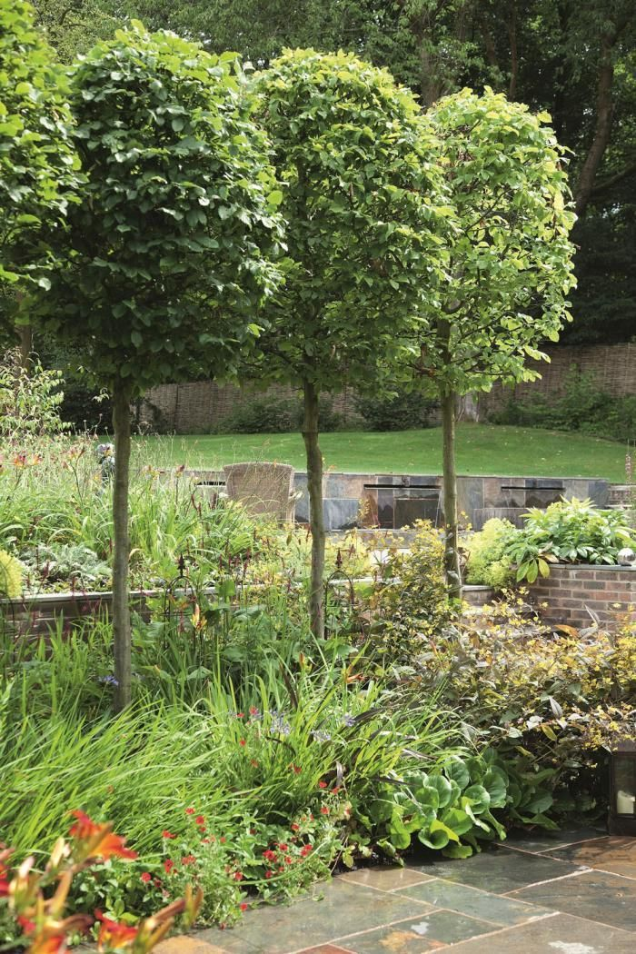 Hornbeam topiaries with underplantings 8014 yard ideas for Garden trees photos