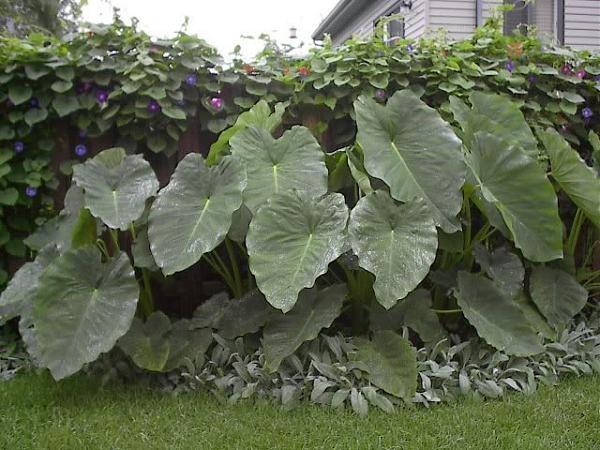 Alocasias plantas tropicales pinterest for Plantas ornamentales tropicales