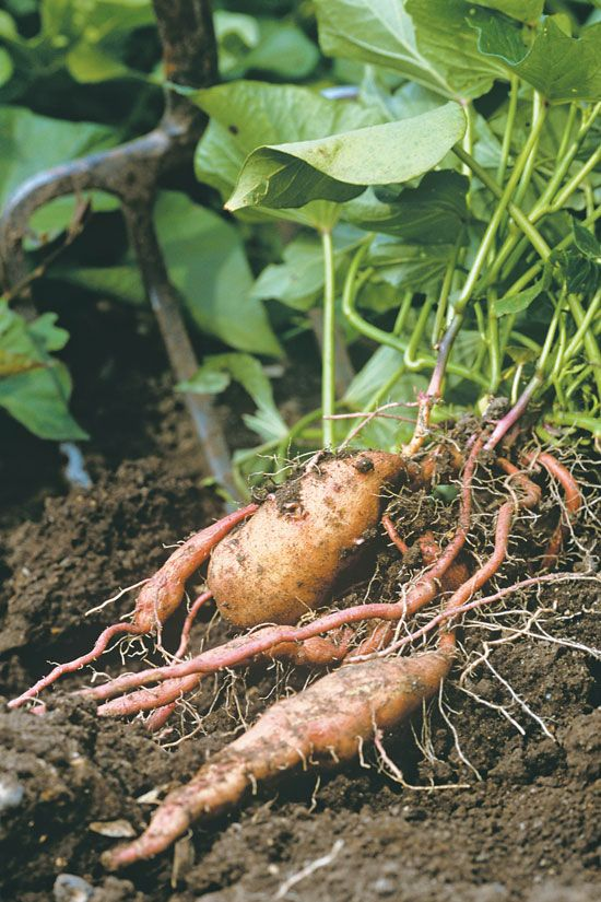 mail order potatoes planters
