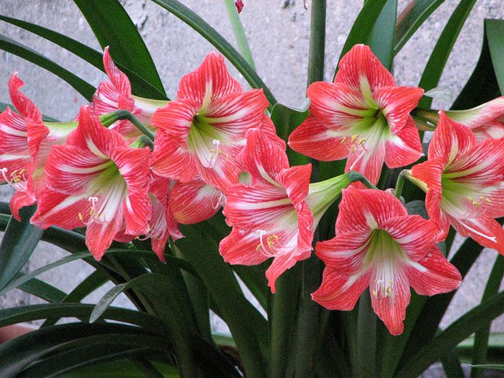 Azucenas azucena pinterest for Azucena plantas jardin