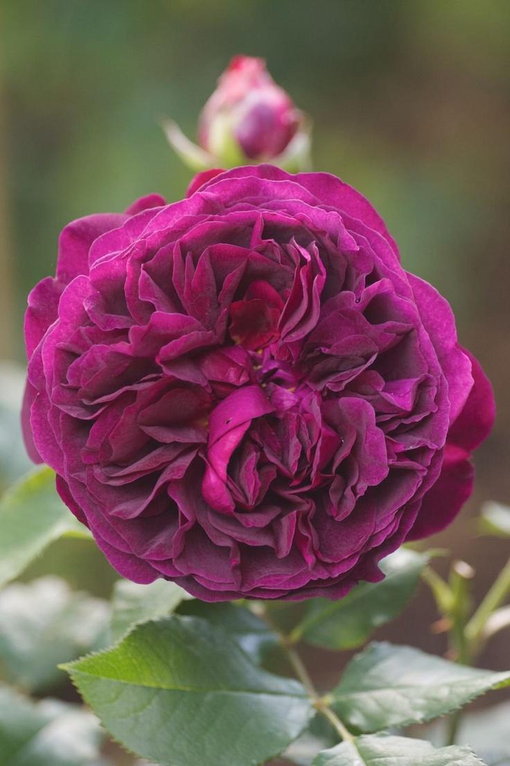 rose 39 munstead wood 39 flora n fauna pinterest. Black Bedroom Furniture Sets. Home Design Ideas
