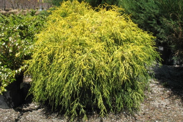 Similiar Evergreen Trees And Shrubs Identification Keywords