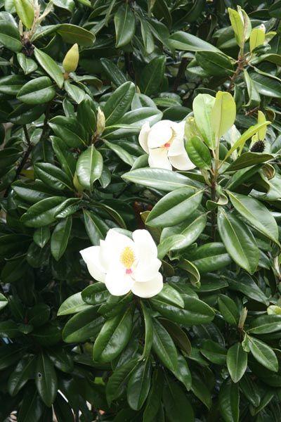 Magnolia grandiflora magnolias pinterest - Magnolia grandiflora ...