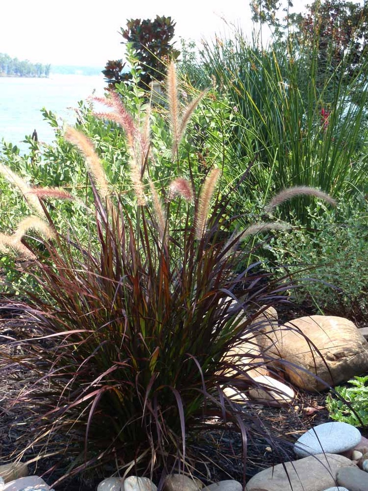 Pin by shawna lacey on for the love of gardening pinterest for Fountain grass
