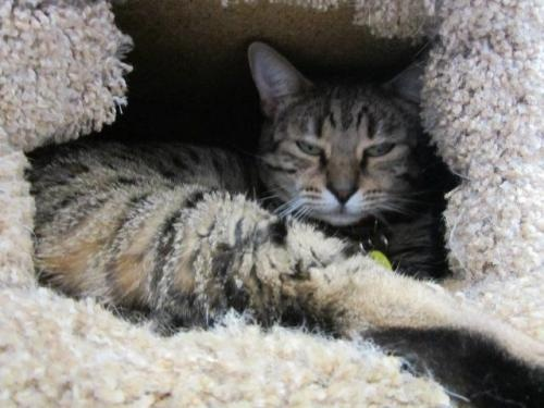 Bengal For Sale | Pets | Sacramento | Adopt A Pet | Pinterest