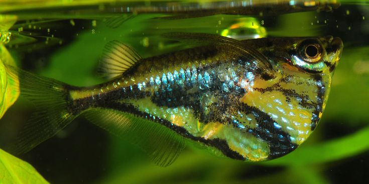 Marbled Hatchet Fish Reference Images: Hatchetfish Pinterest