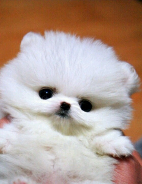 White Pomeranian Teacup