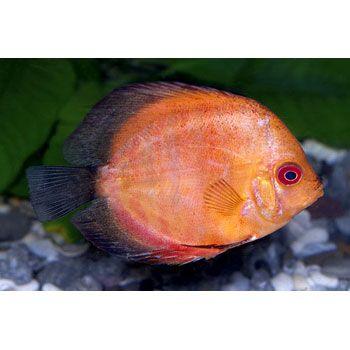 Discus fish petco via gardenia discus fish symphysodon for Petco fish for sale