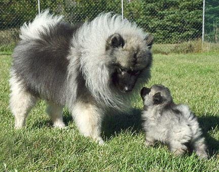 Mama & baby Keeshond love! | Keeshond | Pinterest