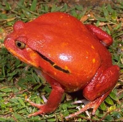 Madagascan Tomato Frog