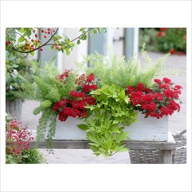 Asparagus 'Meyeri', Verbena 'Lamai Red', Ipomoea Sweet Caroline 'Light Green' in wooden trough