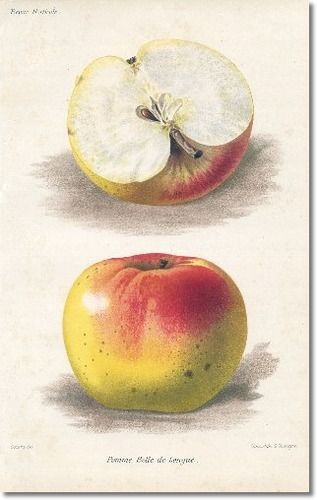 Revue Horticol - Botanical Print - Illustrated Book Plate Illustration from Revue Horticole 1800s - Botanical Print -  17 - APPLE FRUIT Painting