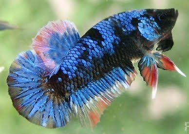Rare betta fish betta fish brackish animals bettas for Rare betta fish