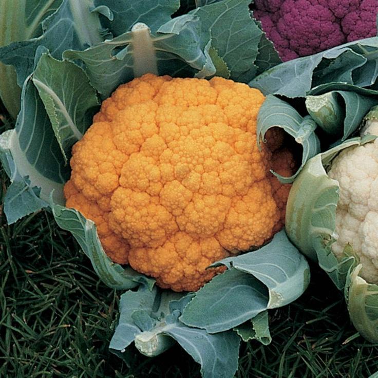 Cauliflower 'Cheddar' | Garden 2012 | Pinterest