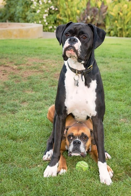 Black boxer dogs