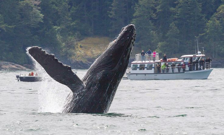 The Humpback Whales of the Great Bear Sea...