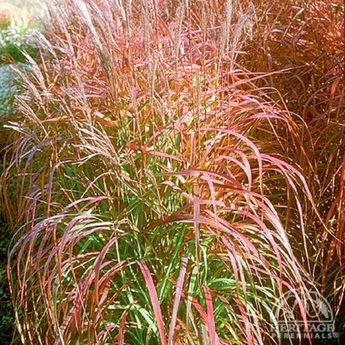 Flame grass garden ornamental grasses pinterest for Red ornamental grasses perennial