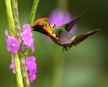 Tufted Coquette (Lophornis ornatus) Male feeding at Yerette  photo by fayardmohammed  LocalityTrinidad, Trinidad and Tobago