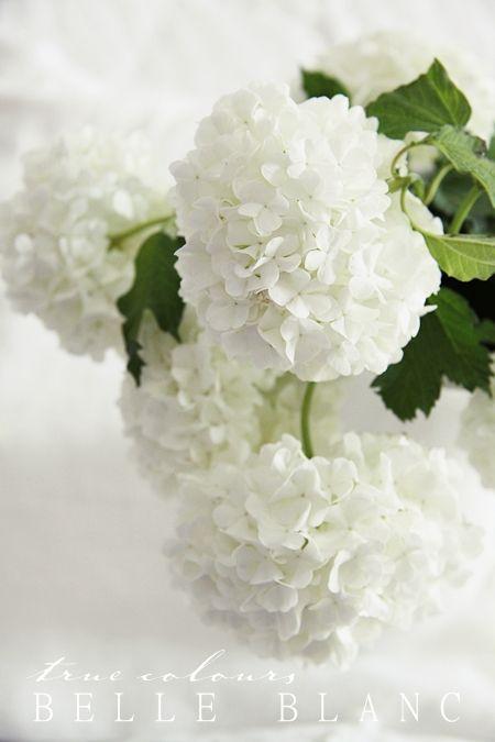 white hydrangeas from belle blanc