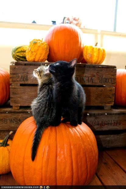 Tabby and black cats on pumpkin