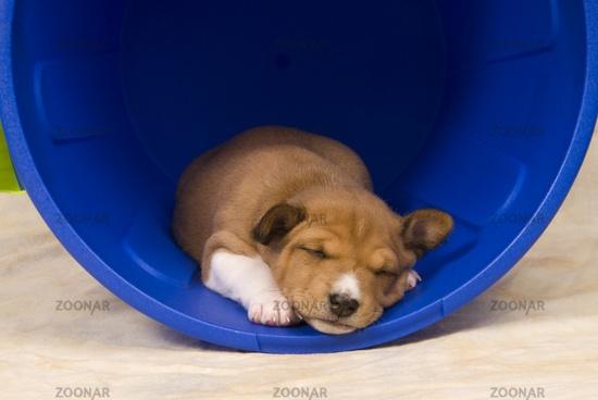 Basenji Puppies | Basenjis