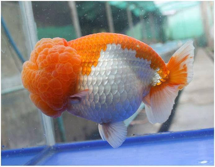 Lionhead | Goldfish | Pinterest
