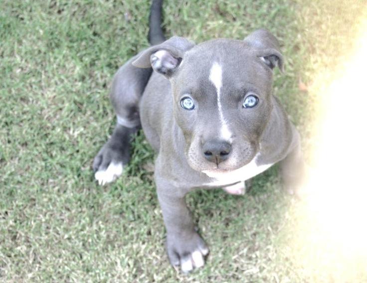 Blue Nose Pitbull Puppy Tumblr Blue nose pitbull puppy