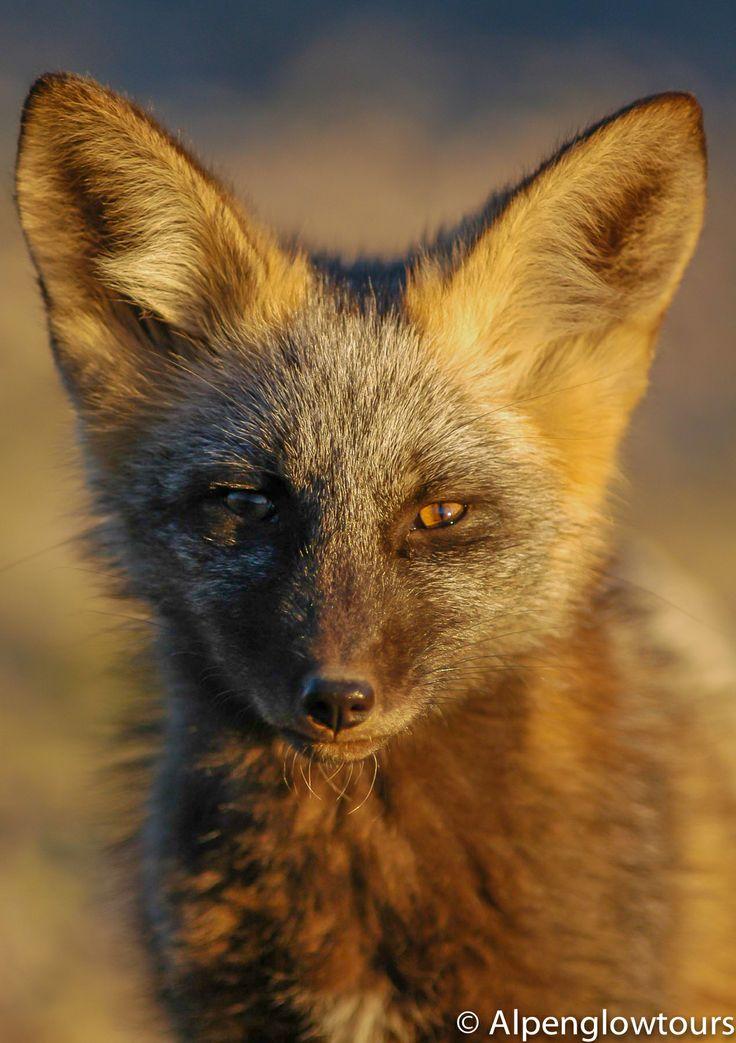 Red Fox, Grand Teton National Park | Wildlife | Pinterest